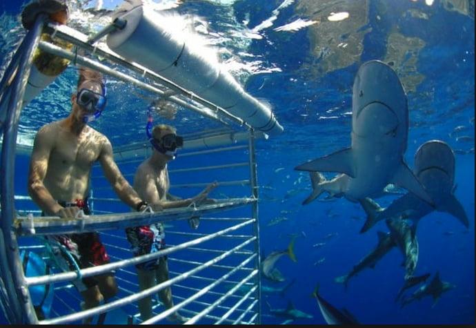imagem de turistas em gaiola e tubarões ilustra matéria Tubarões valem mais vivos que mortos