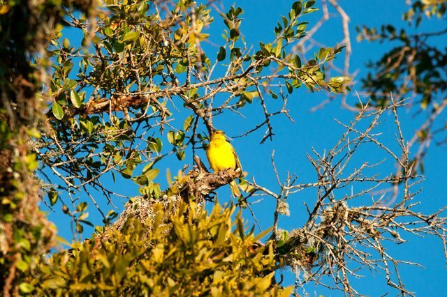 Imagem de um canário-da-terra na Estação Ecológica do TAIM.