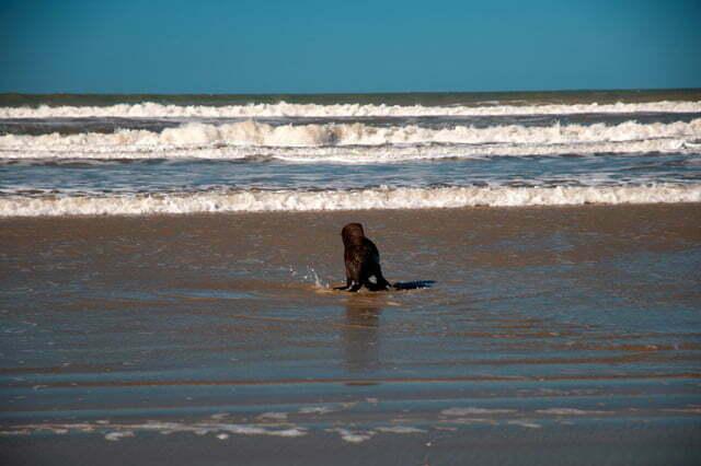 Estação Ecológica do TAIM, Cena de um filhote de leão-marinho na praia do Cassino, RS