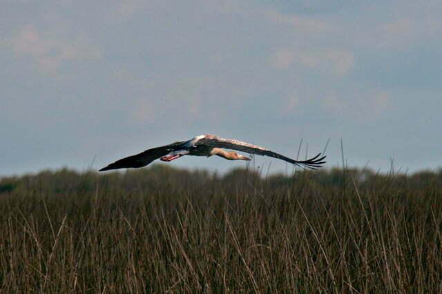 ave joão- grande, em voo, na Estação Ecológica do TAIM, RS