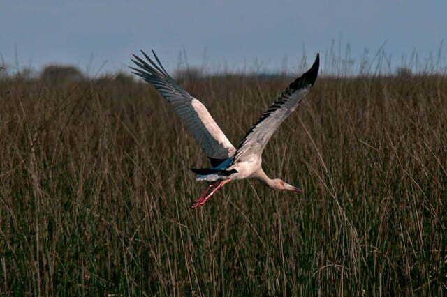 Imagem da ave João- grande, em voo.