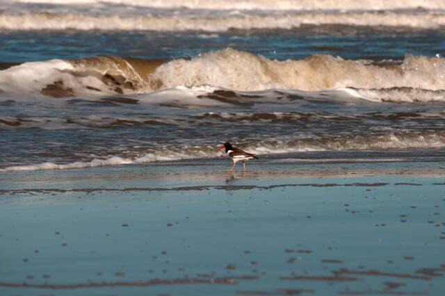 Estação Ecológica do TAIM,Imagem de um Ostreiro na praia do Cassino, RS.