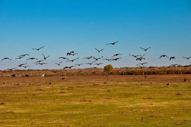 Estação Ecológica do TAIM, Imagem de uma revoada de Tahãs