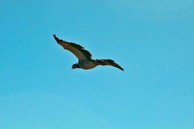 Imagem da ave Tahã em voo, na Estação Ecológica do TAIM