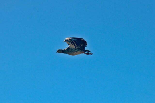 Estação Ecológica do TAIM, Imagem da ave Tahã em voo