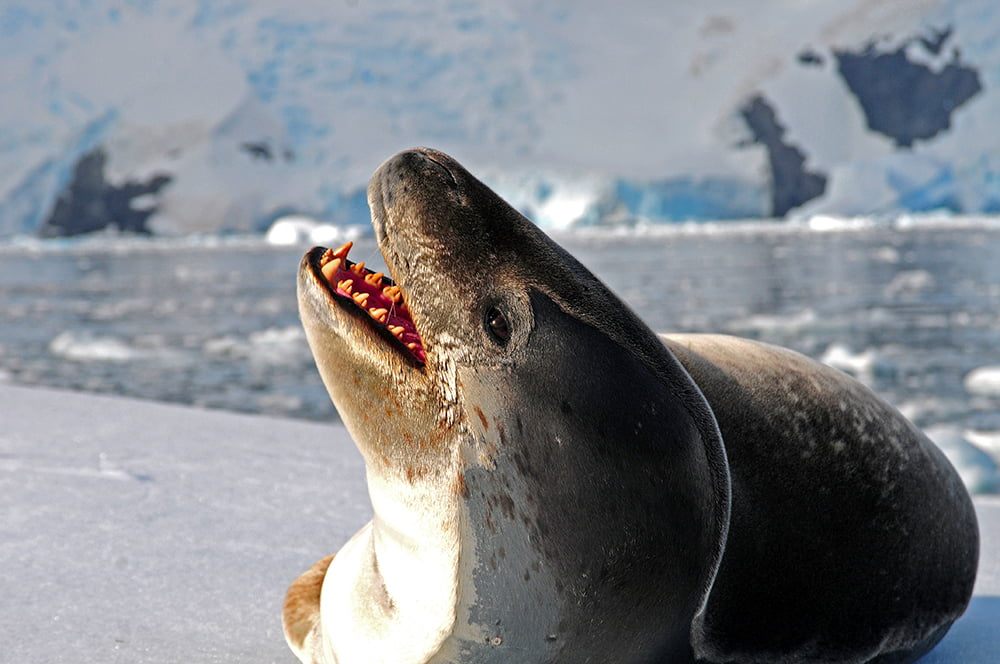 Foca Leopardo, um predador antártico, imagem de Foca Leopardo, um predador antártico