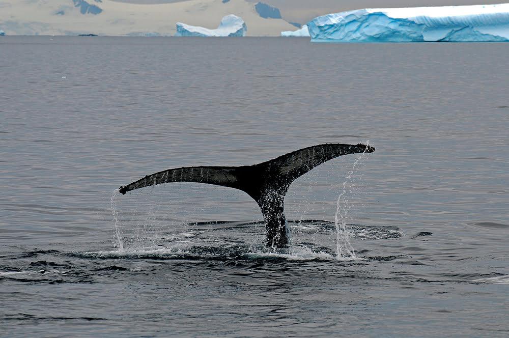 Viagem à Antártica, Trinity, Deception, Rei George, Cabo Horn, Ushuaia, imagem de cauda de baleia fora dagua
