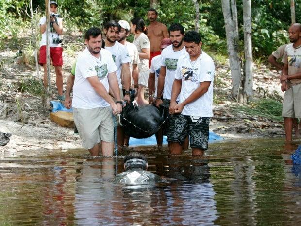 Várzeas são ideais para adaptação de peixe-boi no Amazonas, imagem de peixe boi sendo colocado na água