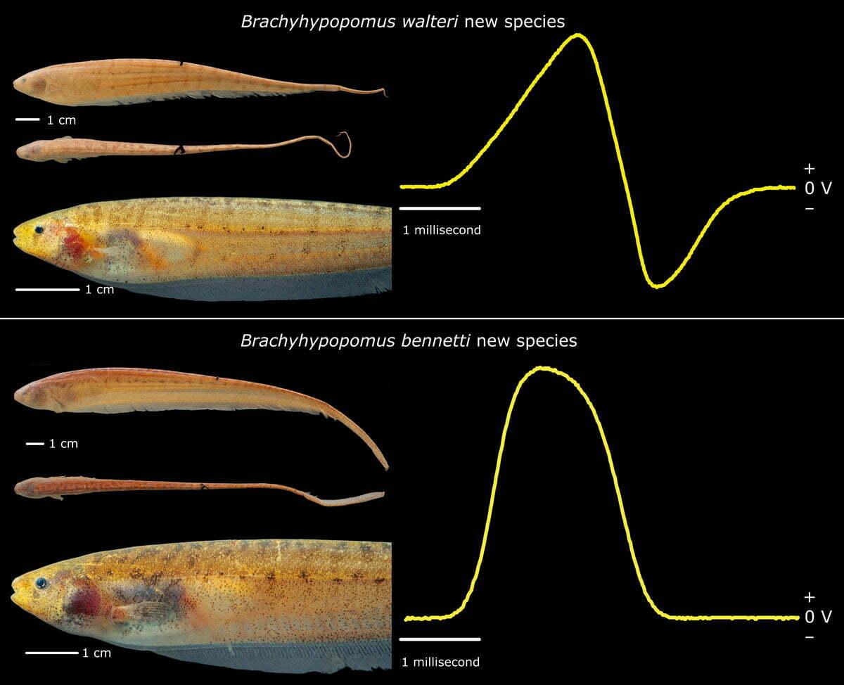 imagem de duas novas espécies de peixes-elétricos