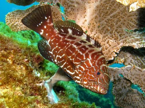 Redução na quantidade de peixes na Bahia, imagem de garoupa