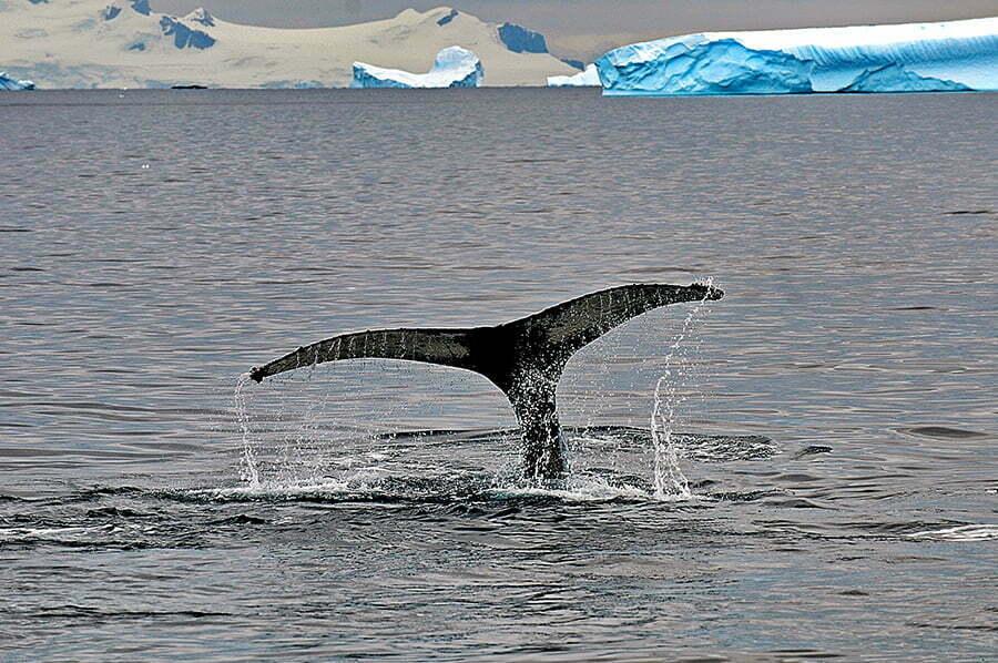 Viagens do Mar Sem Fim em fotos. Nº 2, imagem Baleias na Península Antártica.