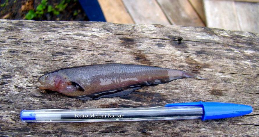 imagem de nova espécie de peixe elétrico, o sarapó