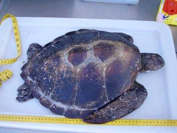 Tartarugas marinhas e plástico, imagem de tartaruga marinha em laboratório