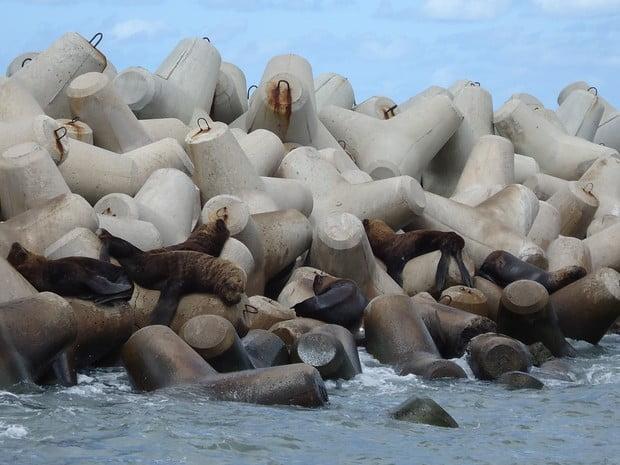 Leões marinhos e lobos marinhos, imagem dos molhes do rio grande, rs