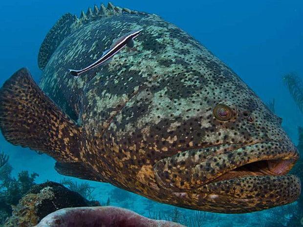 Declínio de sete espécies de peixe no sul da Bahia , imagem de um mero
