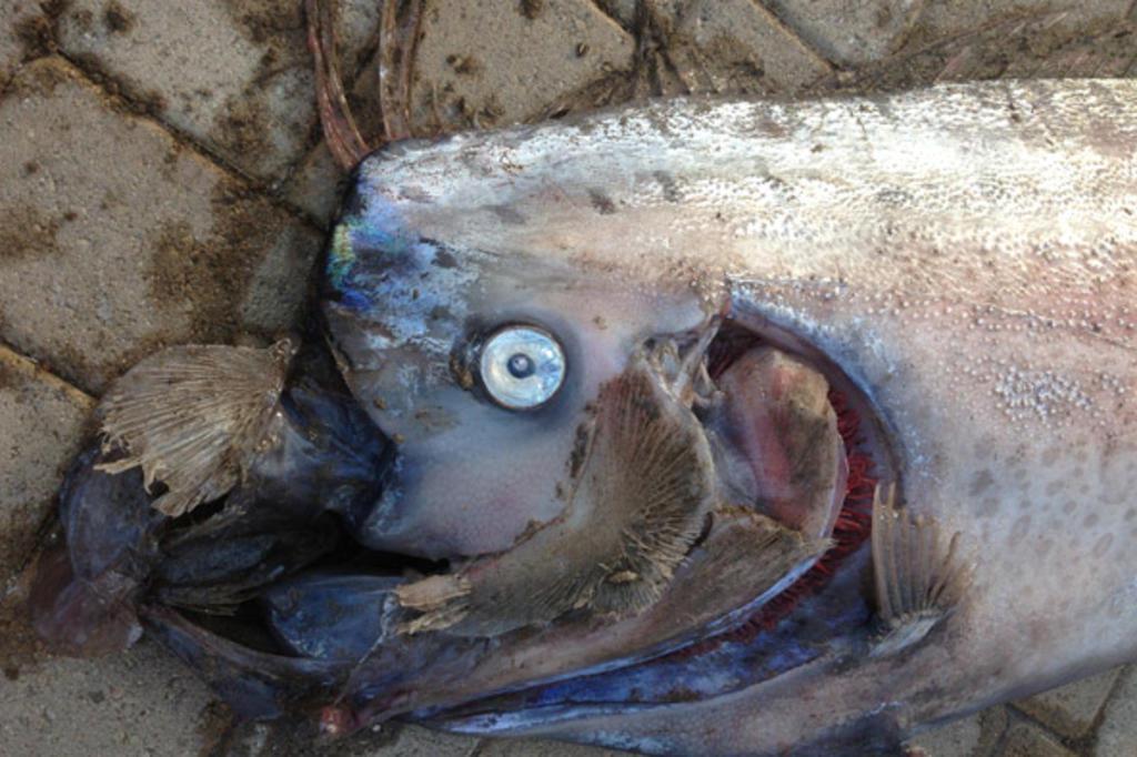 Peixe com mais de cinco metros, imagem de Peixe com mais de cinco metros