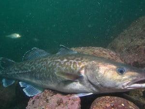 Comissão Europeia e pesca no mar do Norte, imagem de um gadus-macrocephalus