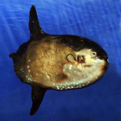 image do peixe Masturus lanceolatus: