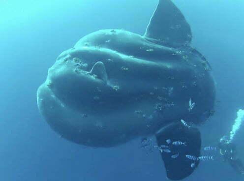 imagem do peixe Mola alexandrini: