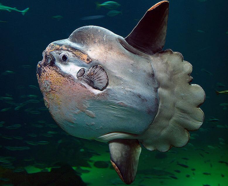 Peixe-lua: uma criatura muito estranha e ameaçada de extinção, imagem de peixe lua