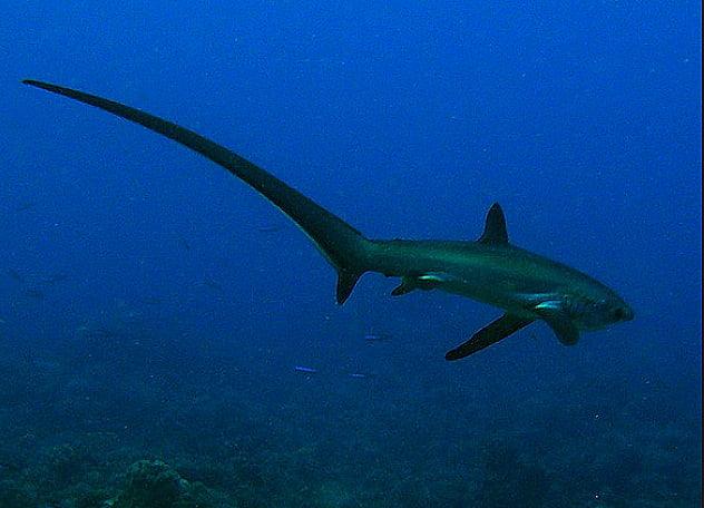 imagem de um tubarão raposa no mar