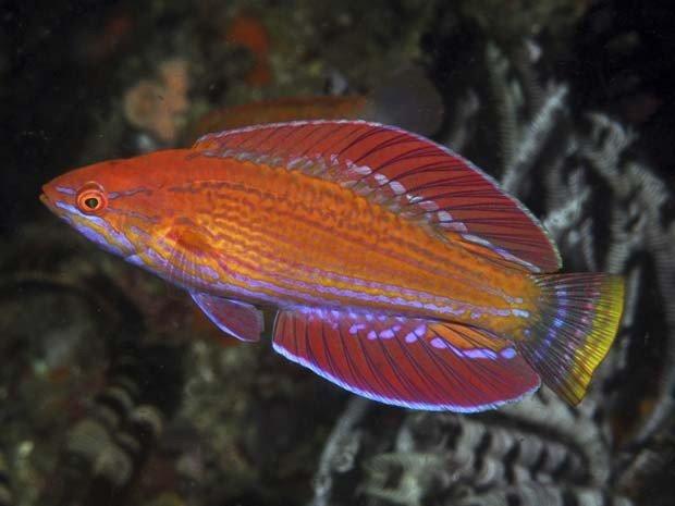 Nova espécie de peixe descoberta, imagem de Novo peixe budião é descoberta na Indonésia