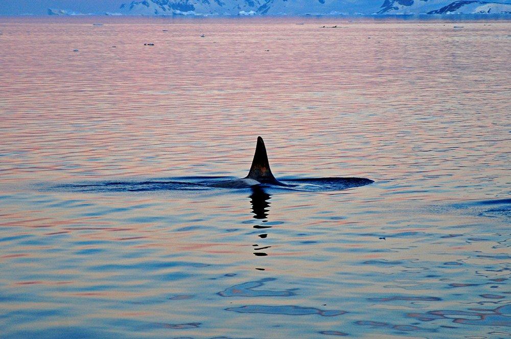 Viagem à Antártica, chegada na Baía Dorian, imagem de orca na antártica