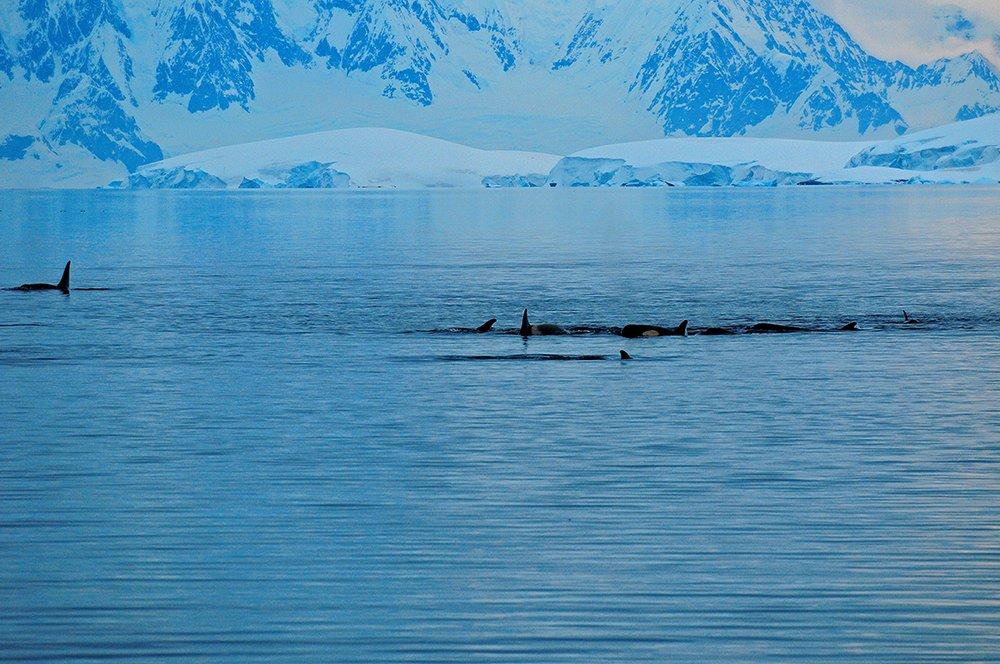 Viagem à Antártica, da base Brown para Cuverville Island, imagem de baleias e orcas na antártica