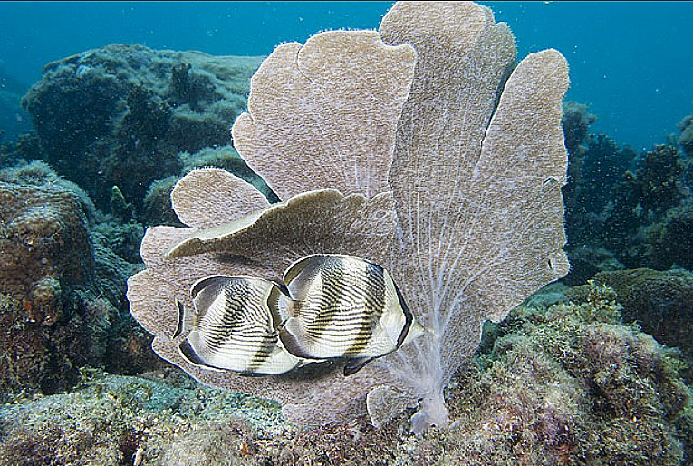 Substância de coral destrói superbactéria hospitalar, imagem de coral orelha de elefante