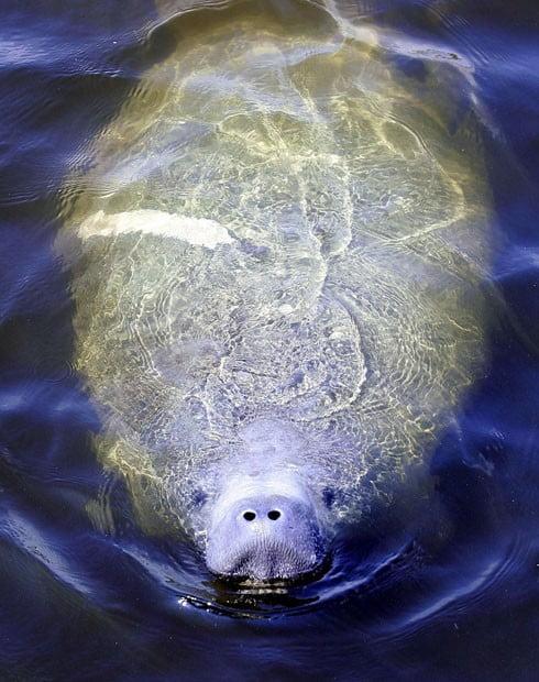 peixes boi na Flórida, imagem de peixe boi