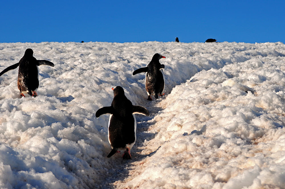 Viagem à Antártica, da base Brown para Cuverville Island, imagem de pinguins