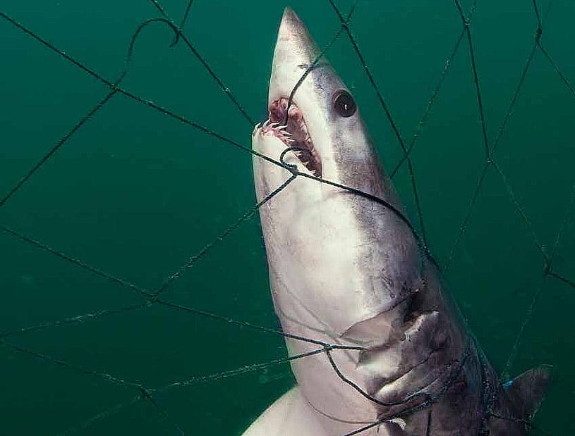 imagem de tubarão morto pela Pesca de arrasto