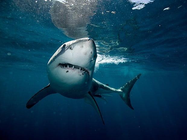 surfista morre, imagem de tubarão branco