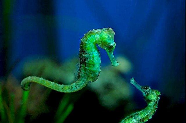 imagem de cavalo marinho verde