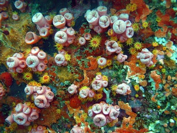 Espécies invasoras: coral sol, Espécies invasoras, imagem do coral sol
