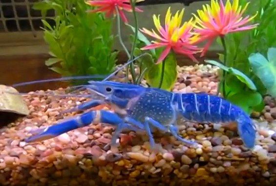lagostas diferentes, imagem de lagosta azul