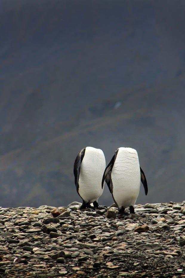 Dois pinguins sem cabeça , imagem de pinguim rei