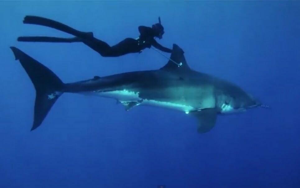 Nadar ao lado de um grande tubarão-branco, imagem de mergulhador nadando com tubarão