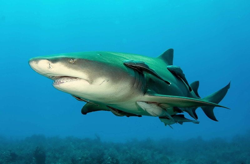 Fêmeas de tubarão-limão, imagem de tubarão
