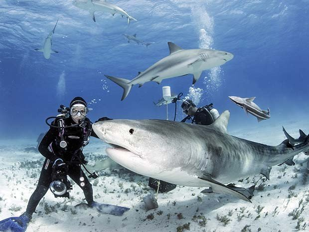 imagem de mergulhador entre tubarões-tigre