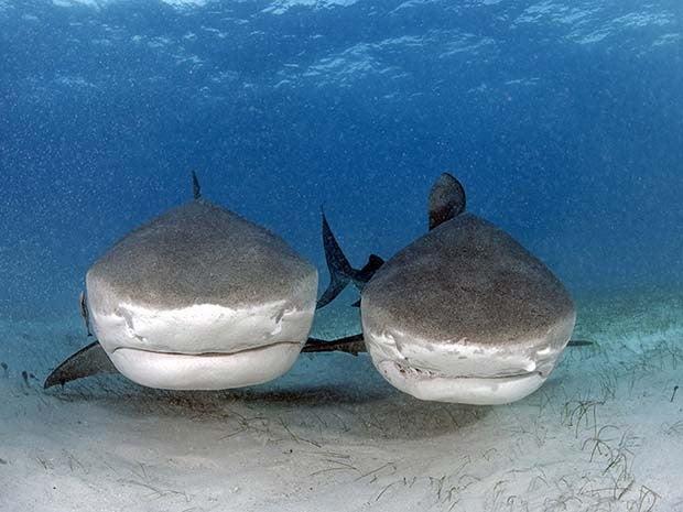 imagem de dois tubarões tigre