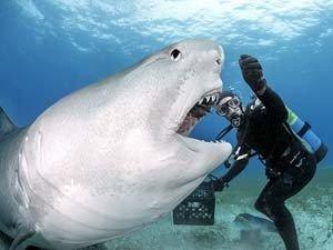 imagem de tubarão-tigre