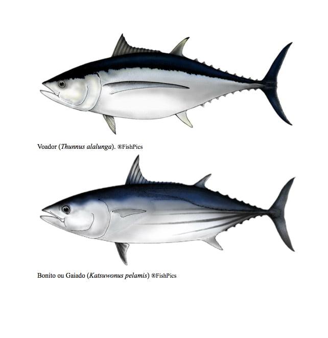 desenhos de tipos de atuns