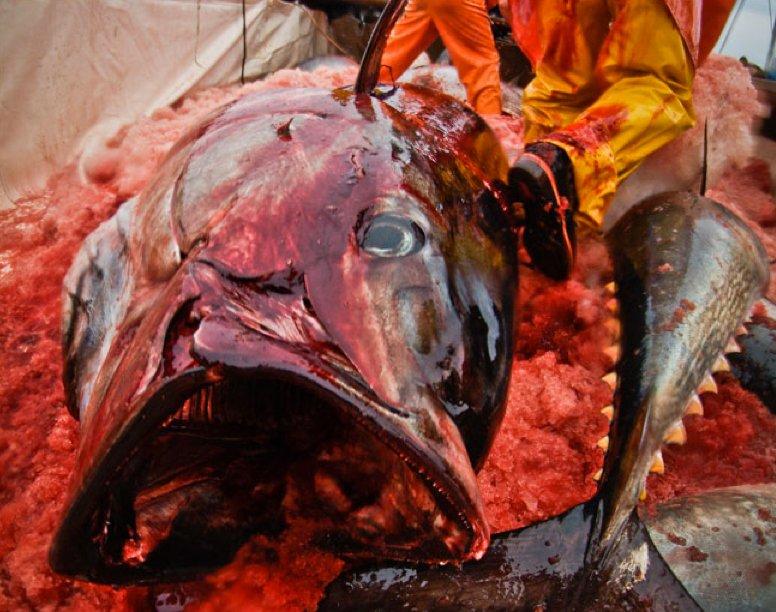 imagem de atum ensangüentado em barco de pesca do atum no Brasil