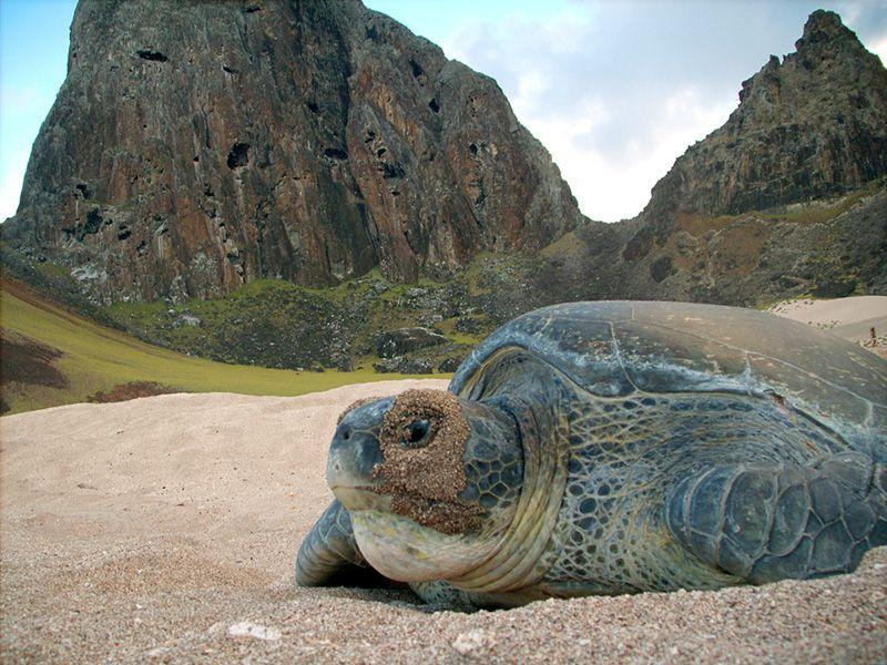 Ilha de Trindade e o Projeto Tamar, imagem de tartaruga em praia da ilha de Trindade