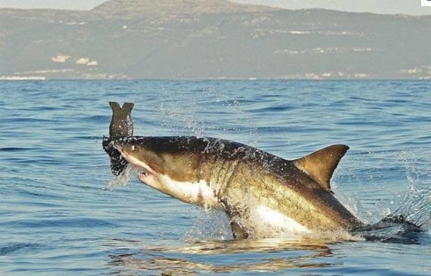 tubarões- brancos, imagem de tubarão branco com presa na boca