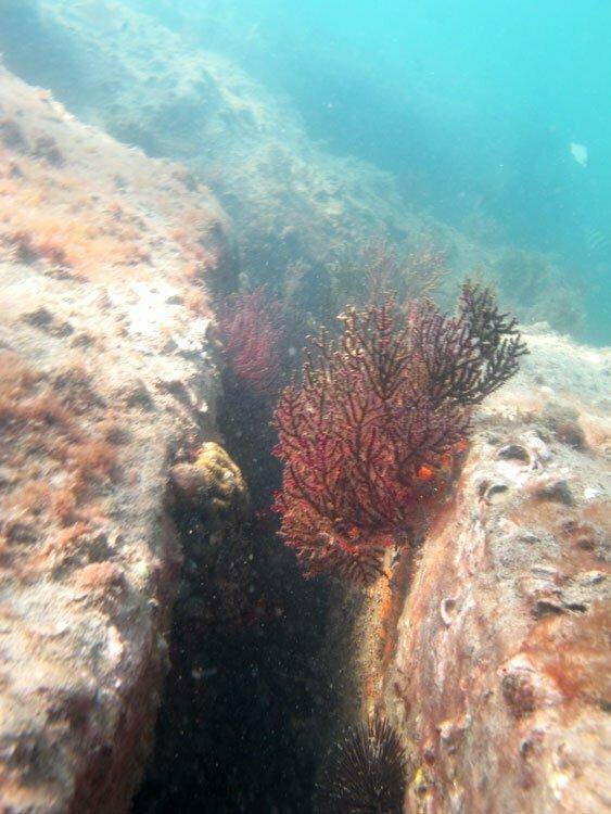 branqueamento de corais na baía de ilha Grande, cena de um coral saudável