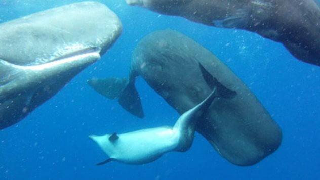 um dos fatos sobre as baleias cachalote é que elas adotam golfinhos