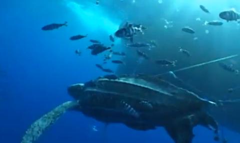 Tartarugas marinhas e pesca de espinhel, Cena de uma tartaruga de couro procurando se livrar de um anzol de espinhel