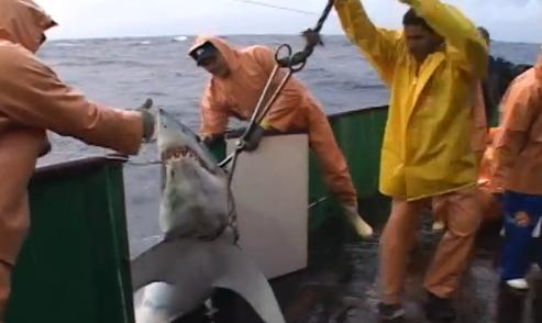 Tartarugas marinhas e pesca de espinhel, Imagem de um tubarão fisgado sendo trazido a bordo do barco de pesca